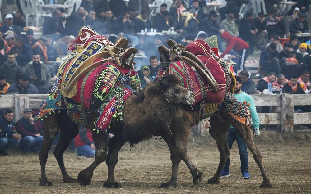 Đấu vật lạc đà – Lễ hội độc đáo, sôi động nhất Thổ Nhĩ Kỳ